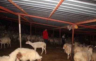 Ağıl Sahibi Koyun Hırsızlarını Faka Bastırdı