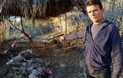 Antalya'da 'Gizemli' Koyun Katliamı