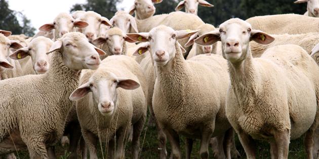 Zara'da Genç Çiftçilere Koyun Dağıtıldı