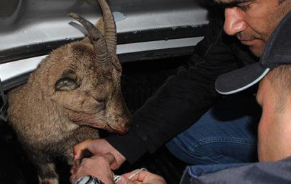Çığın Altında Kalan Dağ Keçisinin İki Bacağı Kırıldı