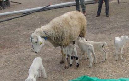 Konya'da Bir Koyun Tek Batında 5 Kuzu Doğurdu
