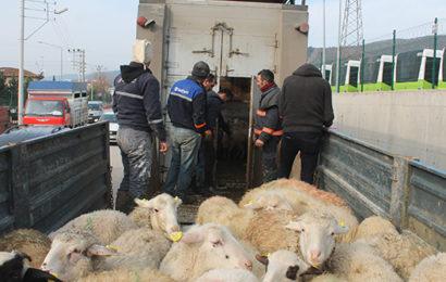 3 Girişimciye 102 Koyun Desteği