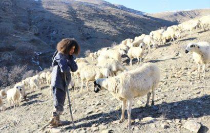 Maliye Mezunu Genç, Koyun Otlatıyor