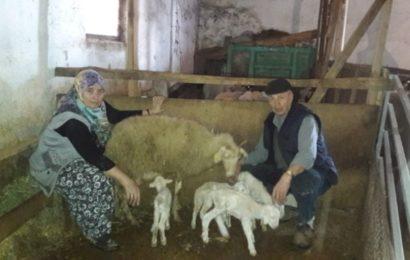 Eskişehir'de Merinos Cinsi Koyun Yine 4 Kuzu Doğurdu