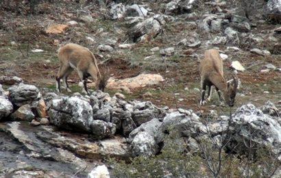 Yaban Keçileri Yerleşim Yerlerine Alıştı