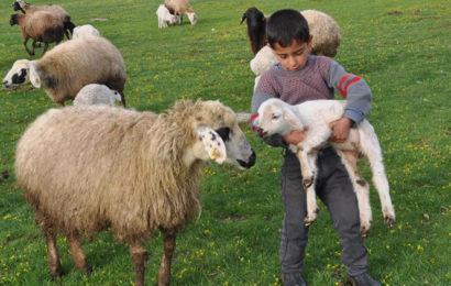 Genç Çiftçi Projesi İçin Koyun Alımı Yapılacak