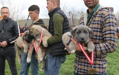 40 İlden 300 Çoban Köpeği Yarıştı