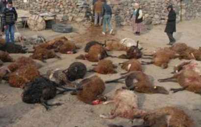 Iğdır'da Aç Kalan Kurtlar Sürüye Saldırdı, 55 Küçükbaş Hayvan Telef Oldu