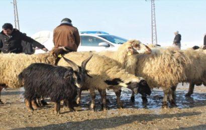 Van'dan Katar'a Koyun İhraç Edildi